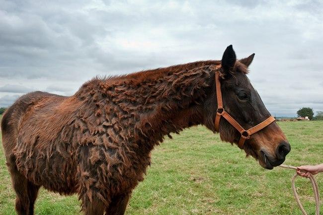 cushings disease equine vets lancashire
