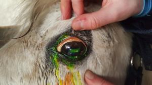Horse Eye Ulcer