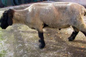 Johne's Sheep
