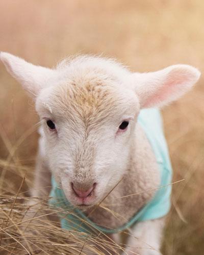 Neonatal Lamb Care