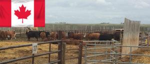 Sams trip to Canada bovine embryo transfer